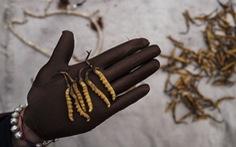 Đông trùng hạ thảo ngày càng khan hiếm vì biến đổi khí hậu