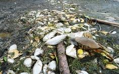 Cá chết trắng ao cạnh sông Trường Giang