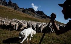 Theo chân người chăn cừu trên vùng đồng cỏ núi Alps