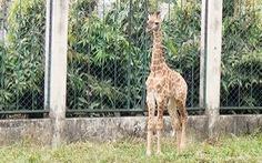 Gia đình hươu cao cổ ở Thảo cầm viên Sài Gòn có thêm thành viên mới
