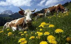 Dân Thụy Sĩ phủ quyết 'quyền có sừng' của bò