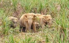 Bốn con voi rừng xuất hiện ở Anh Sơn, Nghệ An