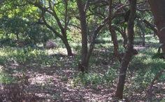 Cưa trộm cây trong rẫy còn chém vào đầu chủ vườn