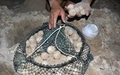 """Ai đã """"gom"""" 116 trứng vích ở Côn Đảo?"""