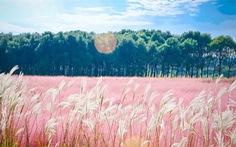 Mùa hội cỏ hồng Lâm Đồng sẽ diễn ra từ ngày 24-11