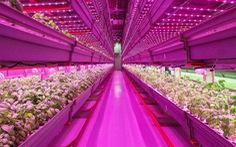 Công nghệ trồng rau bằng đèn LED thay ánh mặt trời