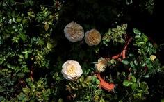 Hơn 200 giống hoa hồng ngoại phục vụ Tết 2019