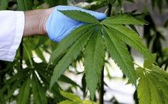 Mỹ cho phép trồng loại cây cùng họ với cần sa