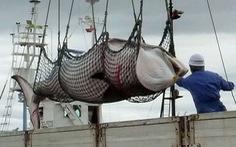 Vì sao Nhật lại muốn đánh bắt cá voi thương mại?