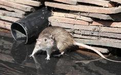 5 người thiệt mạng vì dịch bệnh nguy hiểm lây từ chuột bùng phát