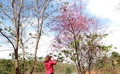 Lễ hội qua rồi mai anh đào hồ Tuyền Lâm mới nở rộ