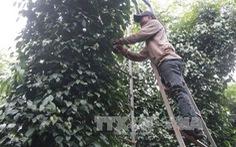 Đắk Lắk 'khát' lao động thu hoạch hồ tiêu