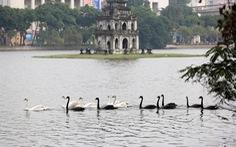 Thả thiên nga xuống hồ Hoàn Kiếm là đánh úp dư luận?