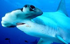 Săn cá mập lấy vi cá: tội ác thầm lặng