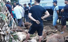 Truy tìm xe tải chở 13 con bò chết bán cho người dân