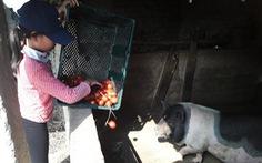 Cà chua rớt thảm còn mỗi ký 3.000 đồng, dân hái cho heo ăn