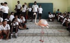 Đến Curaçao gặp 'đại sứ chim hồng hạc'
