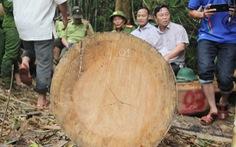 Gỗ quý ở rừng Quảng Nam bị hạ sát