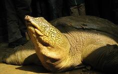Đã tìm được họ hàng 'cụ rùa hồ Gươm' ở Sơn Tây?