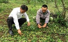 Mưa đá làm 'tiêu tan' 2.100ha hoa màu ở Cao Bằng, Sơn La
