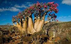 Đến Yemen khám phá 'vùng đất cây máu rồng' Socotra