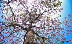 Sài Gòn có thêm mùa hoa kèn hồng