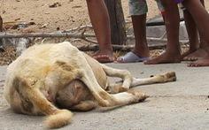 Nắng hạn, cừu Ninh Thuận chết hàng loạt