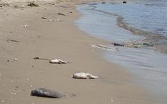 Cá chết trên kênh Phú Lộc do thiếu oxy