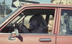Con khỉ đột biết dùng ngôn ngữ ký hiệu nổi tiếng thế giới qua đời