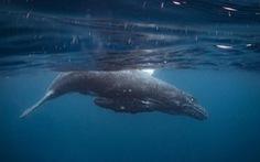 Ảnh chụp đuôi cá voi lưng gù đoạt giải ảnh du lịch NatGeo 2018