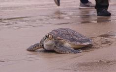 Thả rùa quý hiếm nặng hơn 20kg về biển