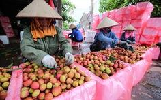 5 năm đàm phán, vải thiều Việt chính thức sang Nhật
