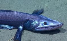 Ngộ nghĩnh cá thằn lằn, mực 'bánh bao' dưới đáy biển