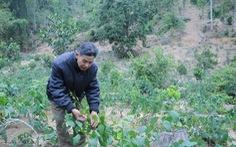 Nhân giống cây Bò khai tại Vườn quốc gia Bến En để bảo tồn