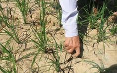 Nắng nóng kéo dài, Thanh Hóa lo mất gần 1.000ha lúa mùa