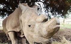 Loài tê giác trắng phương Bắc có thể thoát nguy cơ tuyệt chủng