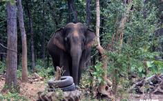 Rừng suy giảm, voi rừng liên tục tấn công, phá hoại cây trồng