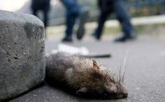 Bằng chứng kinh hoàng về nạn chuột cống ở Paris