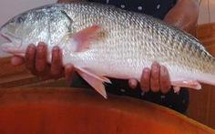 Vì sao cá sủ vàng 'đắt như vàng'?