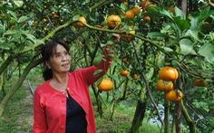 Quýt hồng Lai Vung vào vụ chín, thu hút khách tham quan