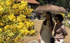Mai cổ Vĩnh Long cao hơn 6m tại Hội hoa xuân 2019