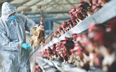 Chỉnh sửa gen gà để ngăn đại dịch cúm gia cầm