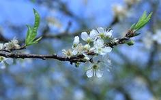Say đắm với Mộc Châu mùa hoa mận nở trắng trời trắng đất