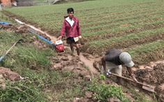 Nông dân trồng hành tím ở Sóc Trăng phập phồng lo âu