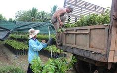 Cảnh báo nông dân không trồng giống sầu riêng lạ