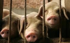 Trung Quốc khủng hoảng thiếu thịt heo, mua 700.000 tấn từ Mỹ