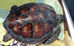 Thả rùa quý được phóng sinh trong chùa về biển