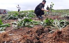 Hàng nghìn cây keo bị nhổ: xã hỗ trợ mỗi cây 4.000 đồng, dân không chịu