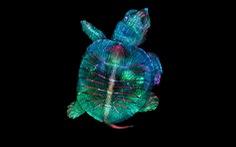 Ngỡ ngàng vẻ đẹp của phôi thai rùa, cá sấu dưới kính hiển vi
