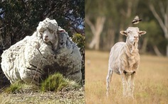 Chú cừu có bộ lông 'khủng' nhất thế giới qua đời, bao trái tim tan vỡ